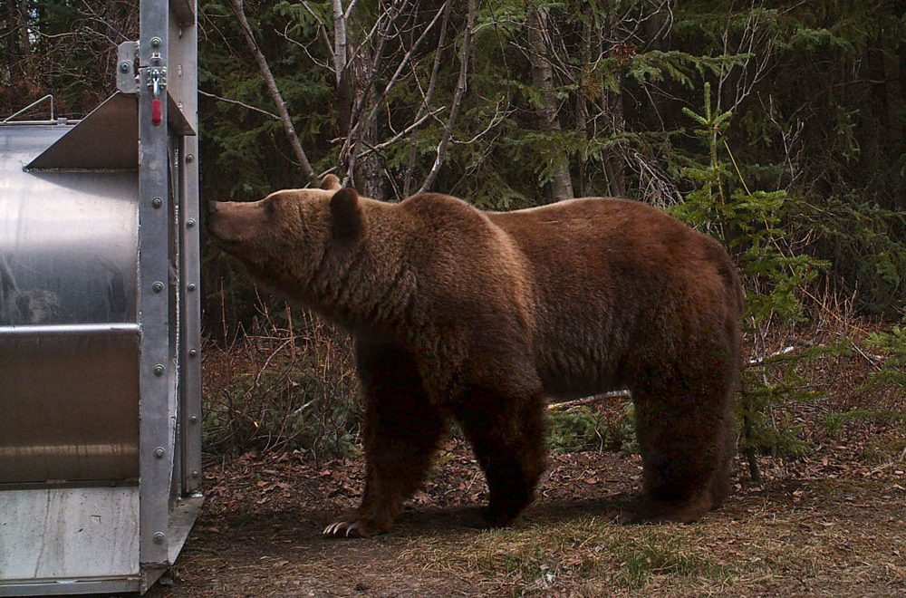 Grizzly bear sniffing bear trap